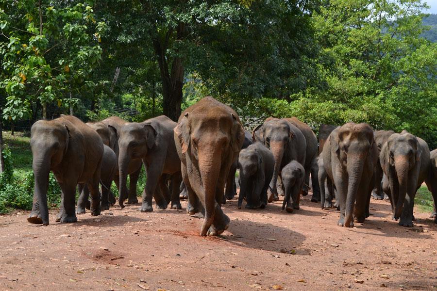 Elefanter i grupp på en väg