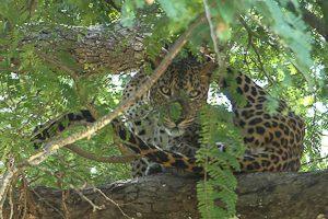 Leopard i träd